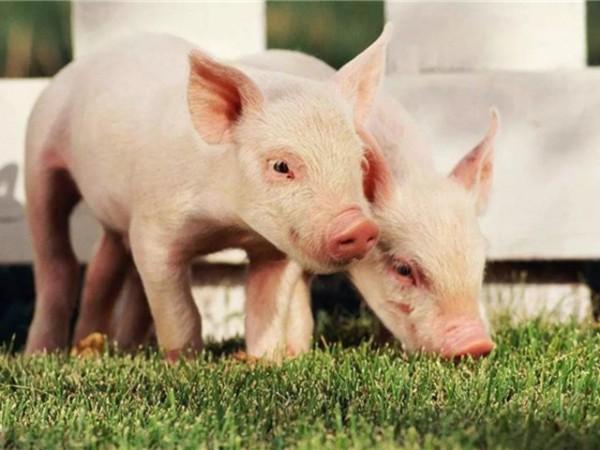 口服活性有机碘,猪场防疫更保险!