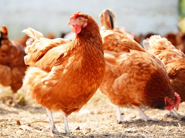 微量元素饲料的另一面:饲料的双重保障与养殖的双重增值效应