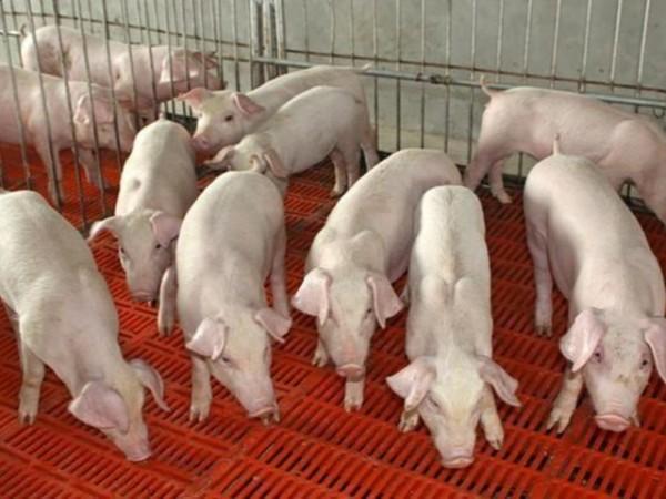 猪用复合矿中确定不能添加铬了吗?是否会给我们饲料企业带来不便?