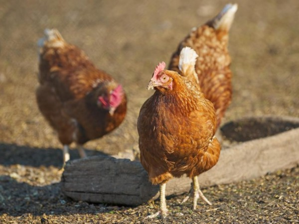 重金属——钒在家禽生产中的影响(三)