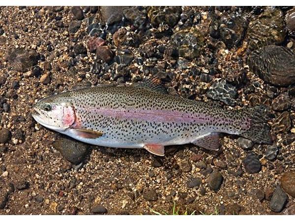 氨基酸螯合物:虹鳟鱼更好的锌、锰、铜源