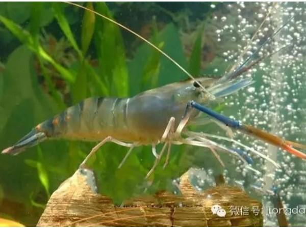 螯合锌和硫酸锌对凡纳滨对虾生长和免疫应答的影响