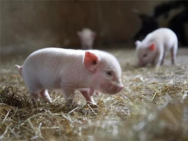 猪饲料添加剂