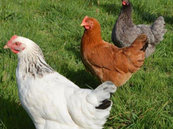 重金属——钒在家禽生产中的影响 ( 二 )