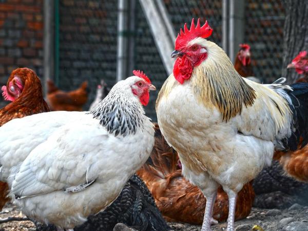 重金属——钒在家禽生产中的影响 ( 一 )