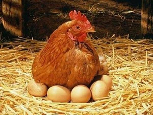 饲粮分级与蛋禽颗粒矿